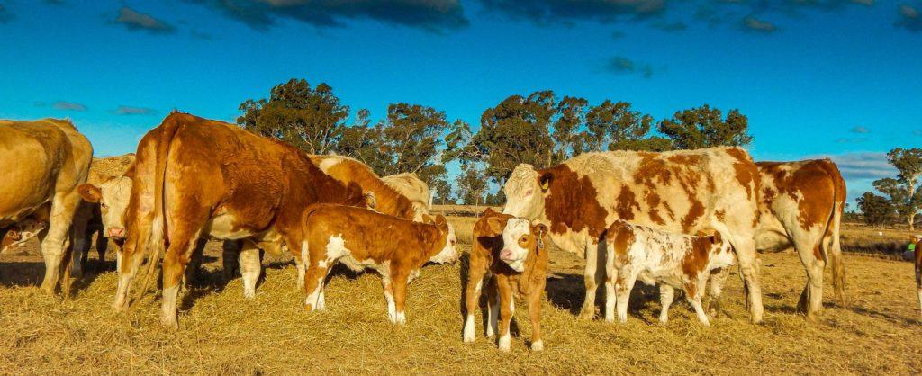 Fleckvieh cows with calves